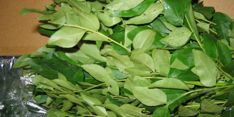 studies on dehydration of curry leaves